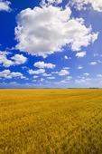 maturing spring wheat near Dugald, Manitoba, Canada
