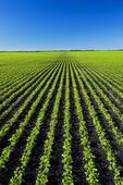 early growth soybean field near Lorette, Manitoba, Canada