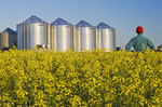 a farmer looks at his bloom stage canola with grain bins(silos) in the background,  Lorette, Manitoba, Canada