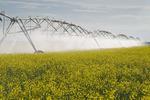 a center pivot irrigation system irrigates bloom stage canola,near Cypress River, Manitoba, Canada