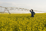 a center pivot irrigation system irrigates bloom stage canola,near Cypress River, Manitoba, Canada