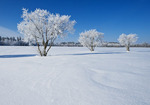 field with frost covered tree,Birds Hill Provincial Park, Manitoba, Canada