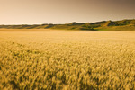 maturing wheat, Qu´Appelle  River Valley,  Saskatchewan, Canada