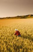 a man checks maturing wheat, Qu´Appelle  River Valley,  Saskatchewan, Canada