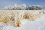 frost covered trees near Oakbank, Manitoba, Canada