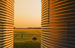 a farmer looks out over a wheat wheat field with grain storage bins in the foreground,near Dugald, Manitoba, Canada