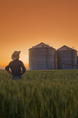a man looks out over a wheat field with grain storage binsin the background,near Dugald, Manitoba, Canada