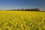 rail cars carrying containers passe a canola field, near Winnipeg, Manitoba, Canada