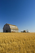 a combine augers durum wheat into a farm truck next to an old barn, near Ponteix, Saskatchewan, Canada