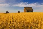 abandoned farm house, wind-blown  durum wheat field near Burstall, Saskatchewan, Canada