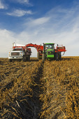 a potato digger harvests and loads a truck with potatoes, near Holland, Manitoba, Canada