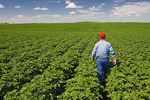 a farmer checks the condition of potato leaves in a mid growth field that stretches to the horizon, near Somerset, Manitoba, Canada