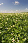 potato field with center pivot irrigation system in the background, near Somerset, Manitoba, Canada