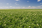 mid-growth blooming potato field with center pivot irrigation system in the background, near Somerset, Manitoba, Canada