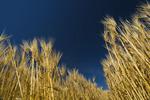 close-up of mature wheat, near Dugald, Manitoba, Canada