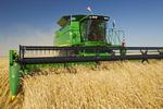 a combine harvester works a field of wind-blown wheat near La Salle, Manitoba, Canada