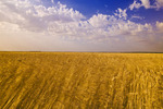 field of wind-blown mature wheat near La Salle, Manitoba, Canada