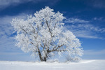 field with frost covered tree,near Winnipeg, Manitoba, Canada