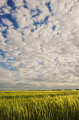 mid growth headed out barley field and sky filled with clouds, near Niverville, Manitoba, Canada
