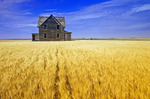 abandoned farm house in wind-blown  durum wheat field, near Assiniboia, Saskatchewan, Canada