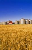 farm with mature durum wheat field near Torquay Saskatchewan, Canada