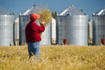 farmer examines a field of maturing, swathed canola with farmyard containing grain storage bins in the background, near Dugald,  Manitoba, Canada