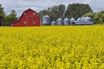 bloom stage canola field with red barn and grain bins in the background, near Souris, Manitoba, Canada