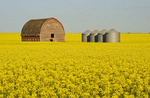 bloom stage canola field with old barn and grain bins in the background, near Somerset, Manitoba, Canada