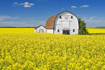 bloom stage canola field with old barn in the background, near Somerset, Manitoba, Canada