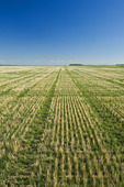 an early growth rye grass growing in zero till soil with wheat stubble, near Carey, Manitoba, Canada