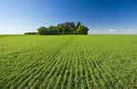 an early growth grain field near Carey, Manitoba, Canada