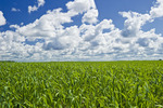 early growth oat field near Lorette, Manitoba, Canada