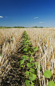 early growth canola in a zero till grain stubble field, Tiger Hills, Manitoba, Canada