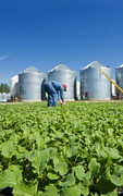 a man scouts early growth canola next to grain storage bins, near Dugald, Manitoba, Canada