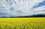 bloom stage canola field , Tiger Hills,  Manitoba, Canada