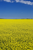 bloom stage canola field , Tiger Hills,  Manitoba, Canada