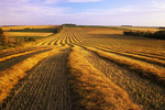 evening light on swathed canola in the Tiger Hills, near Holland, Manitoba
