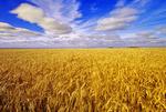 winter wheat near La Salle, Manitoba, Canada