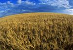 mature durum wheat field , near Ponteix, Saskatchewan Canada