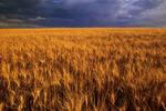 mature durum wheat near Ponteix, Saskatchewan, Canada