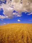 a field of mature spring wheat, near Treherne, Manitoba, Canada