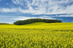 bloom stage canola field and sky filled with cirrus clouds , Tiger Hills,  Manitoba, Canada