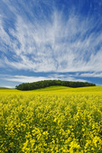 bloom stage canola field, Tiger Hills, Manitoba, Canada