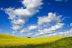 a field of bloom stage canola with grain bins(silos) in the background,  Tiger Hills, Manitoba, Canada