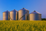 a field of bloom stage canola with new grain bins(silos) in the background,  near Holland, Manitoba, Canada