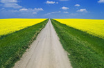 road through farmland with blooming canola, Tiger Hills, Manitoba, Canada
