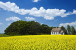 bloom stage canola field with old church in the background, Tiger Hills, Manitoba, Canada