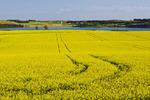 canola field showing sprayer track near Bruxelles , Manitoba, Canada