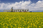 blooming canola field with rail hopper cars being loaded at an inland grain terminal in the background, Rathwell, Manitoba, Canada