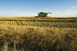 a combine harvester works in a canola field, near Torquay, Saskatchewan, Canada